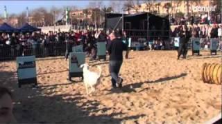 Pirena 2011: De la neu pirinenca a la platja barcelonina