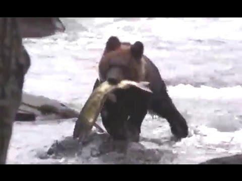 ヒグマ(子熊)のサケ漁 Brown Bear(Baby)