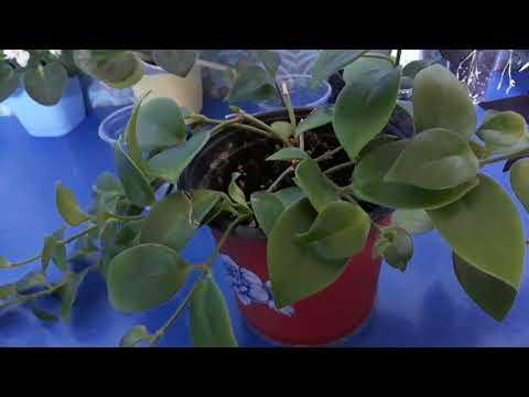 Эсхинантус.Размножение