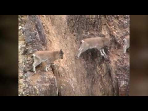 Вопрос: Как часто падают горные козлы?