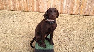 Bella-chocolate Lab Puppy Training-tulsa Ok