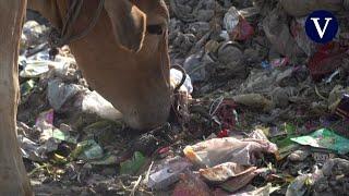 Sacan 70 kilos de basura del estómago de una vaca en la India