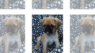 Pugalier Dog breed