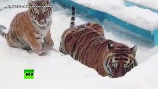 Снежный поход Ермака: тигрёнок из Барнаульского зоопарка радуется зиме
