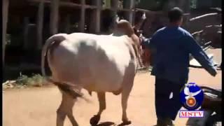 Repeat youtube video 6มค59เจ้าหน้าที่บุกค้นลานวัวชนกลางงานปีใหม่ม้ง