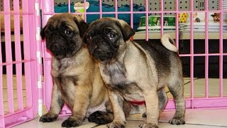 Pug Puppies For Sale 19breeders