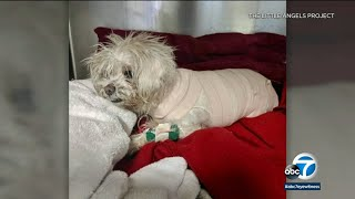 Senior dog possibly burned by chemicals over half of her body found in Van Nuys area I ABC7