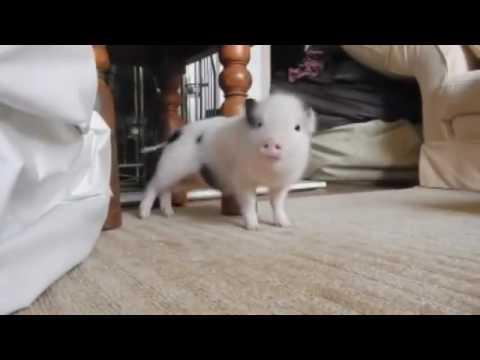 pig dancing to rihanna work gifs