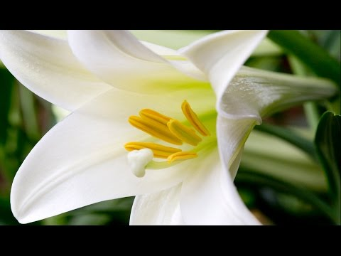 Caring for your Easter Lilies