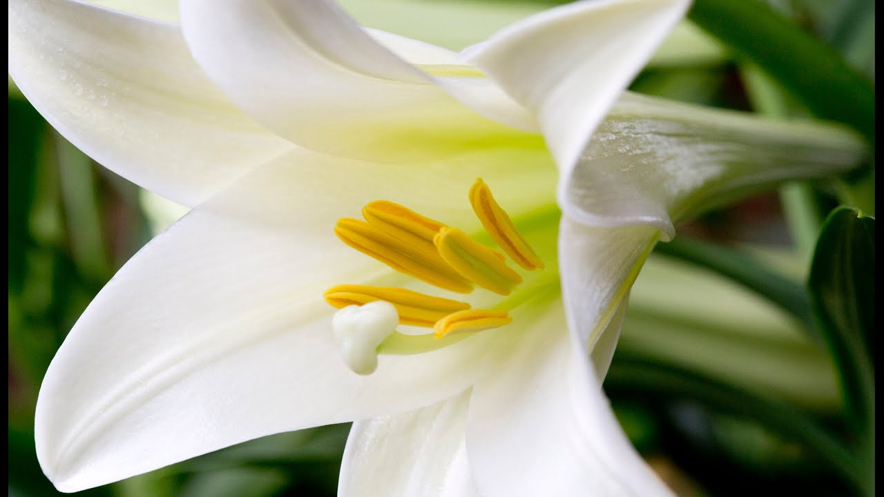 Caring For Your Easter Lilies Youtube
