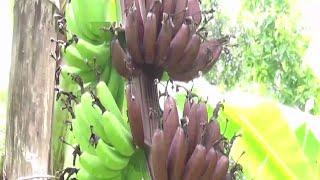ചെങ്കദളിക്കുലയിൽ കദളിക്കൊപ്പം റോബസ്റ്റയും; കൗതുകം   Kannur   Chenkadali Robusta Banana