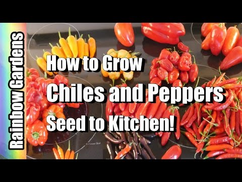How To Grow Chillies & Peppers 101 (Containers Too!) : Seed, Pest, Disease, Harvest, Store, Kitchen
