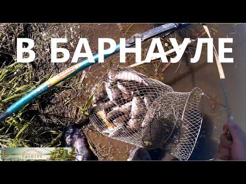 ловля сазана в барнауле