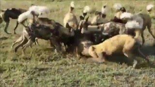 африканские собаки едят кабана живьем