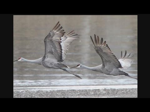 3 IN YOUR TOWN: Sandhill cranes