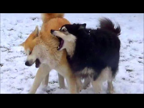 Akita Inu and Finnish Lapphund playing in the snow