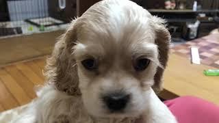 ベルちゃんアップ 全国優良ブリーダーの子犬紹介サイト『みんなのブリー...