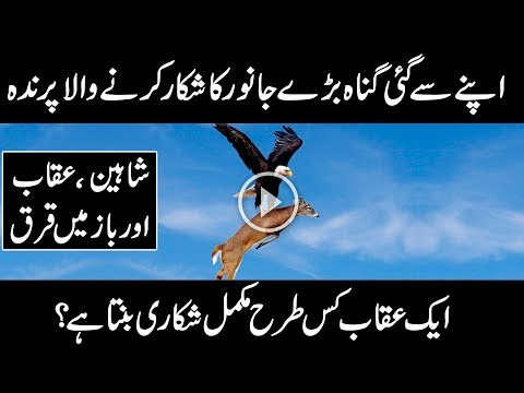 MOST AMAZING FACTS ABOUT EAGLE , SHAHEEN |URDU DOCUMENTARY ON UQAAB | Urdu Discovery