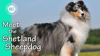 Meet the Shetland Sheepdog