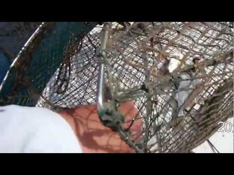 Ribolov sa sklopivom vršom - Fishing with foldable fish trap.1