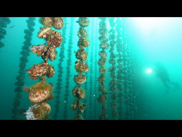 海中に並ぶホタテのカーテン 宮城・女川湾