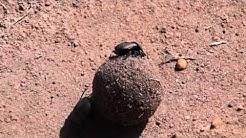Pillerinpyörittäjä kenian savannilla