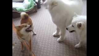 柴犬あずきちゃん、サモエドに対抗するがやはり結局しめられる。。