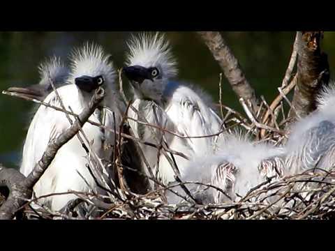 Cattle egret nesting in Cyprus 18/5/2018 - by George Konstantinou