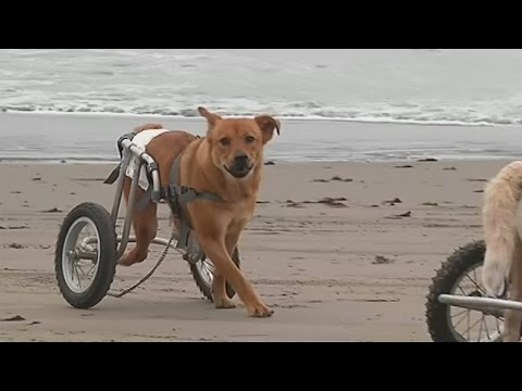 Paralysed dogs in wheelchairs play on the beach in Peru