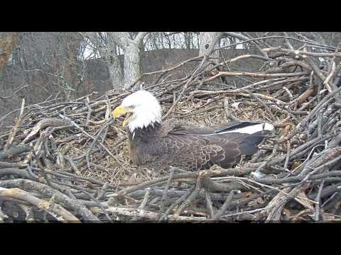 EAGLE CAM 2017 - Mr. President VS. Liberty, Eagle fight breaks out -  ECC, MPDC - Washington, DC