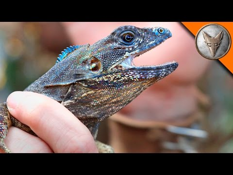 Thumbnail: Flying Lizard Catch!