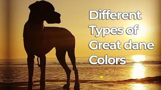 Different Types of Great Dane Colors & their Roles | Dog Lovers