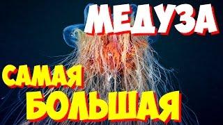 САМЫЕ САМЫЕ большие медузы мира   Какая самая большая медуза в мире?