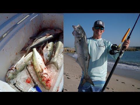 WHY This Is Called A TRASH Fish... Catch Clean Cook - Bluefish