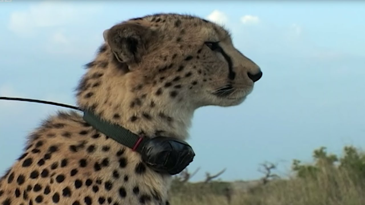 Cheetah brothers attacked by Lion | Natural World: Cheetahs Fast Track To  Freedom | BBC Earth