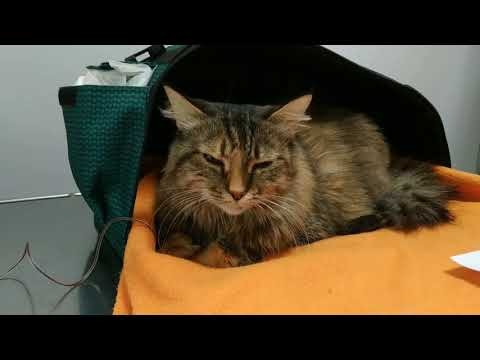 Анемия.Спасение кошки Как найти донора крови для животных