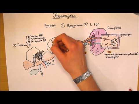 Патогенез и типы желтух: гемолитическая, паренхиматозная и механическая