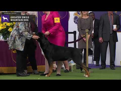 Greater Swiss Mountain Dogs | Breed Judging 2020