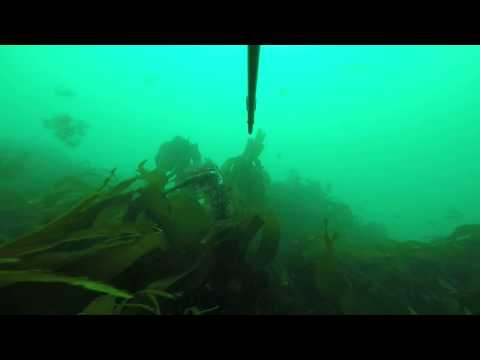 Spearfishing Cod In Wales UK