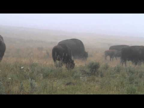 The Bison Mating Season in Yellowstone
