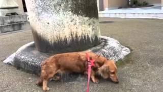 姫ちゃん長崎諏訪神社に行く!ミニチュアダックス☆Miniature Dachshund  Nagasaki Suwa Shrine❤️♡