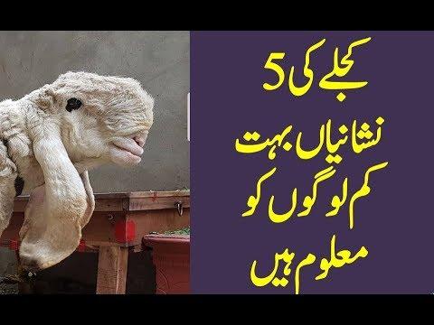 Pakistani Pure Sargodha Kajla Konsa Hota hai ? Kiya Nishaniyan Hoti hain ? Pure Len Bakra Eid (2018)