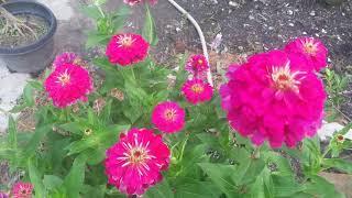 agar bunga zinnia cepat berbunga lebat