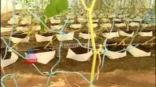 Success story of Salad cucumber farming in Polyhouse: Chuttuvattom news