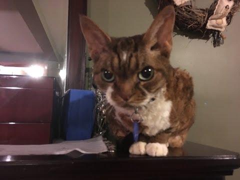 Devon Rex (One Strange Cat)