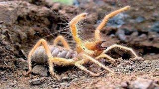 Версус  На что способна сольпуга против скорпиона, сколопендры