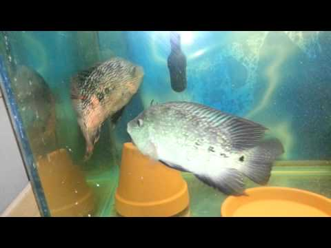 Repeat red texas cichlid and red texas/vieja hybrid by