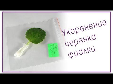 видео: Укоренение листового черенка фиалки (сенполии)