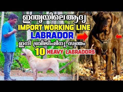 ഇന്ത്യയിലെ ആദ്യത്തെ Imported  Working Line Labrador നായ ഇനി ബ്രിജീഷിന് സ്വന്തം..നിസാരക്കാരനല്ല ഇവൻ