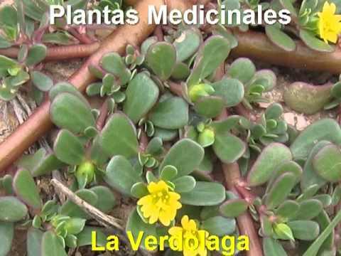 Plantas Medicinales - La Verdolaga - YouTube